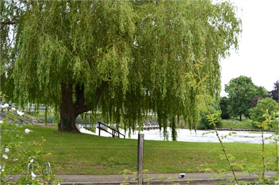 weeping willow at the lock